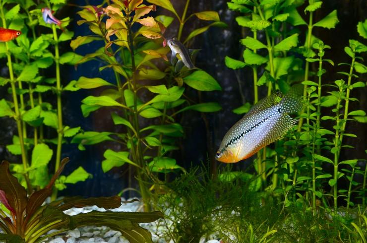 Жемчужный гурами в аквариуме с живыми растениями