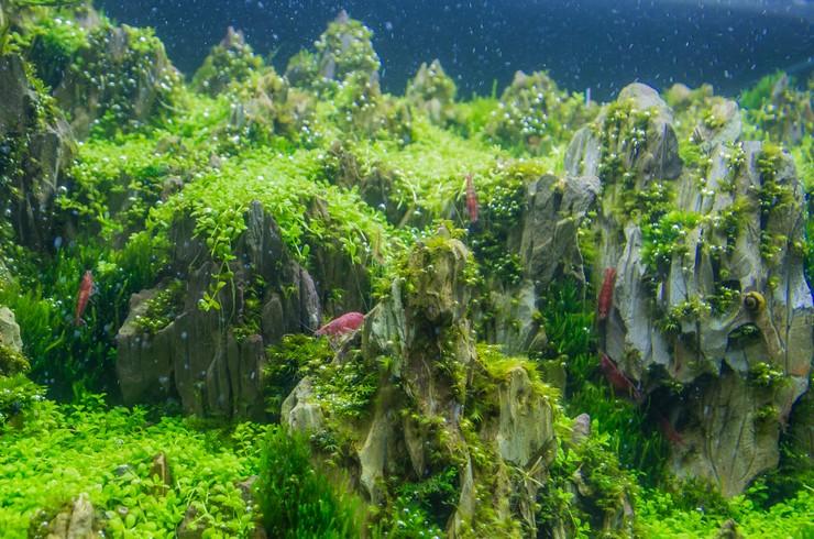 Акваскейп с креветками черри