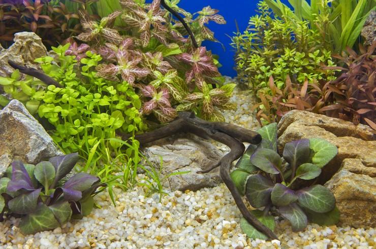 Бакопа на переднем плане аквариума