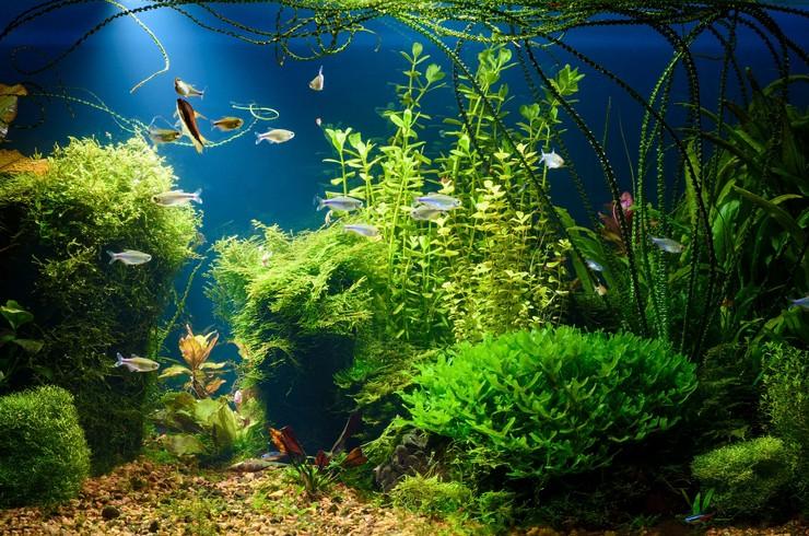 Бакопа на заднем плане аквариума