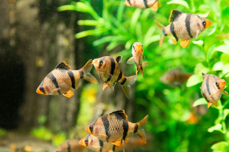 Барбусы – прекрасный выбор для начинающих аквариумистов