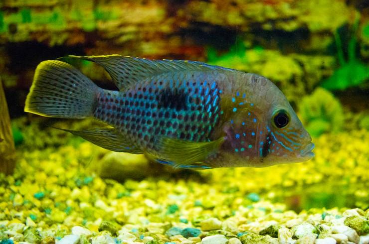 Бирюзовая акара в аквариуме