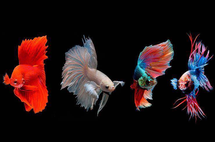 Цветовые вариации рыбок петушков