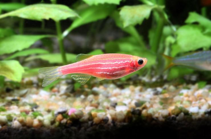 Розовый данио в аквариуме с живыми растениями