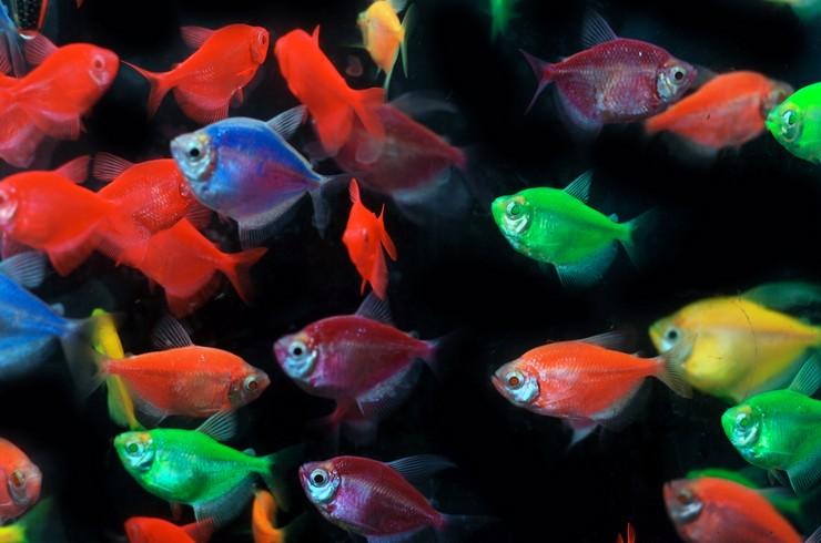 Генетически модифицированные тернеции GloFish