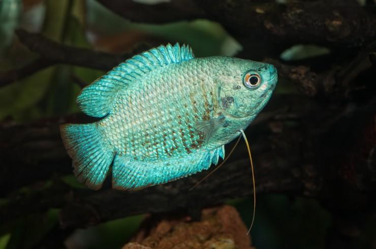 Голубая вариация лялиуса