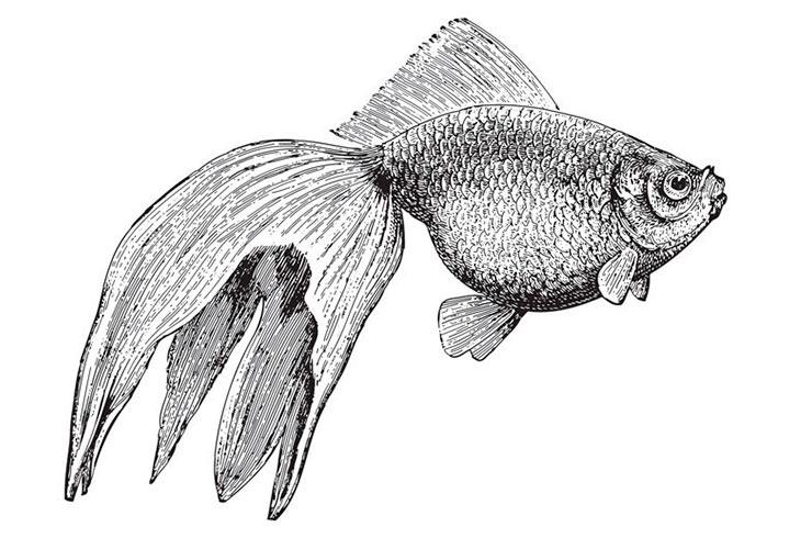 Изображение вуалехвоста в энциклопедическом словаре 1897 года