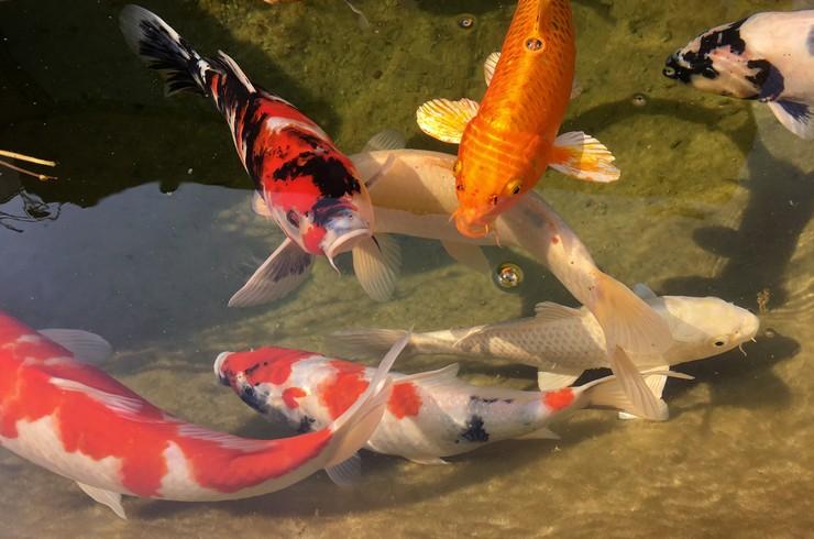 фото кои рыбки