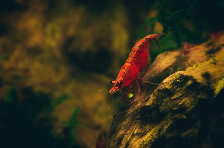 Креветка вишня в аквариуме