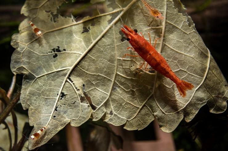Молодая креветка вишня на листе в аквариуме