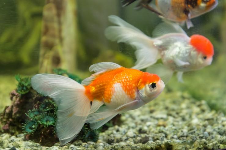 Оранд можно содержать с другими породами золотых рыбок
