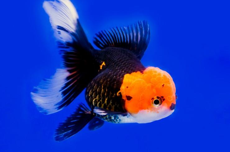 Оранда – короткотелая порода золотых рыбок