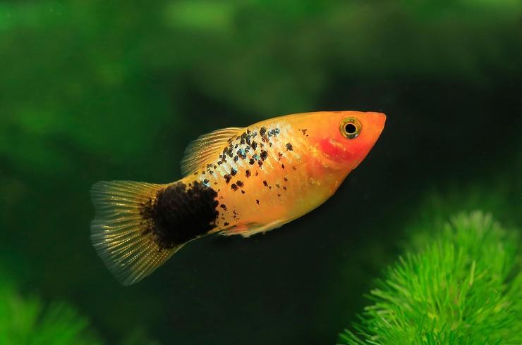 Пецилия - популярная живородящая рыбка