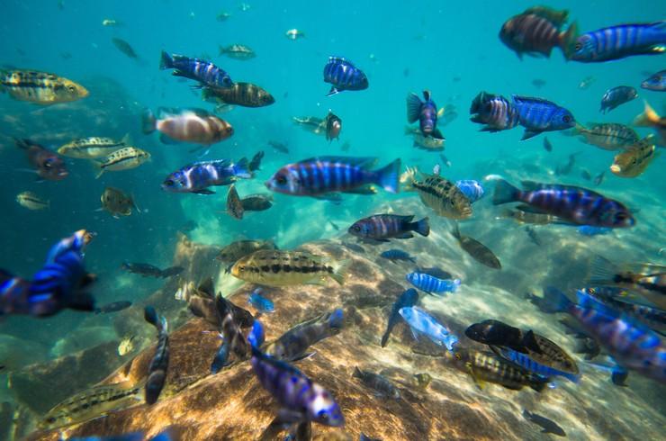 Подводный мир озера Малави