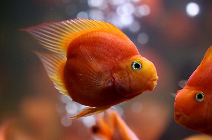 Рыба попугай «Влюбленное сердце»