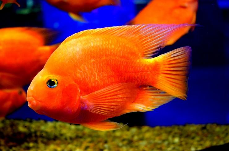 Рыба попугай. Внешний вид