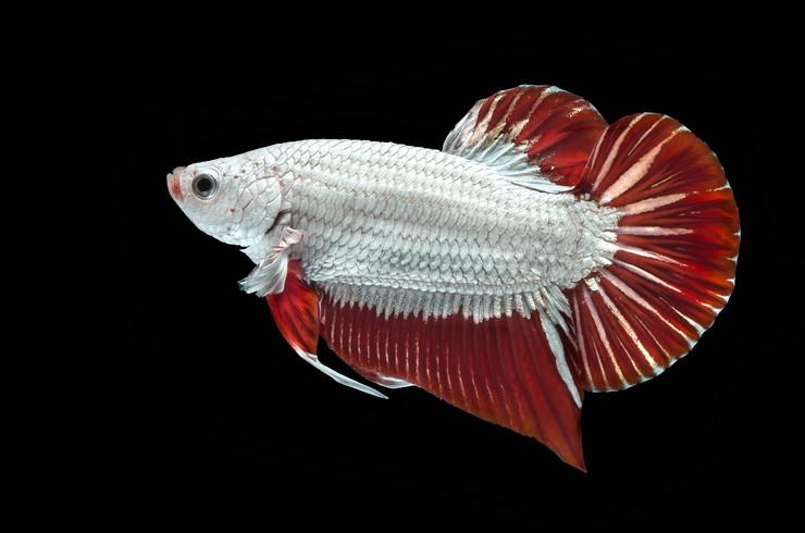 Рыбка петушок с окраской «Дракон»