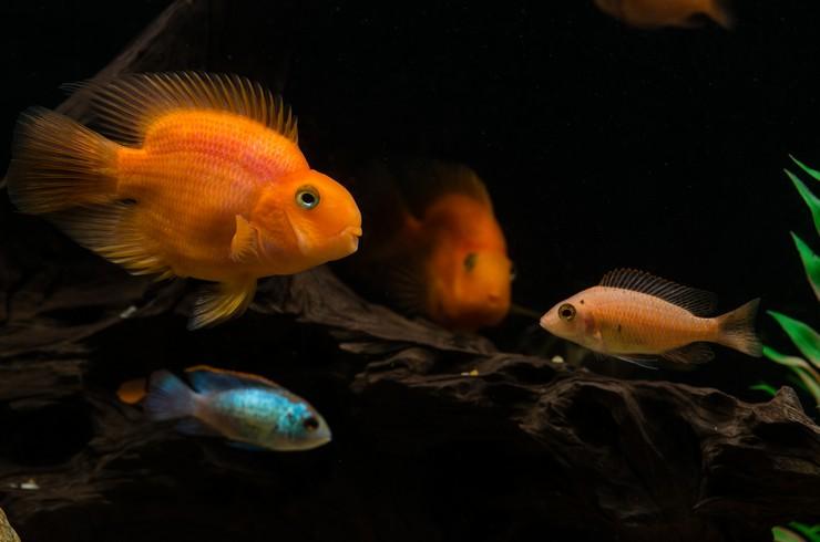 Рыбы попугаи прекрасно уживаются с другими цихлидами
