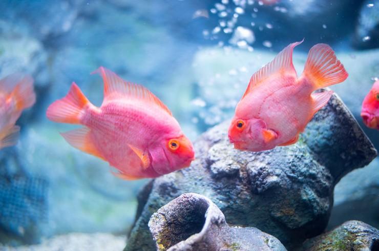 Рыбы попугаи с искусственной окраской