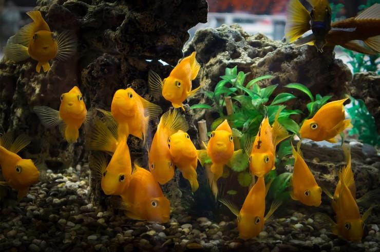 Рыбы попугаи в аквариуме