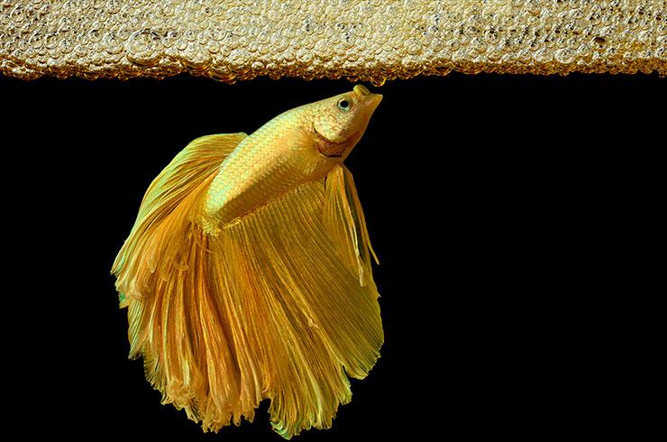 Самец Betta splendens строит гнездо из пузырьков