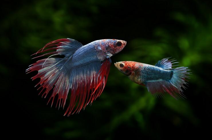 Самец и самка Betta splendens