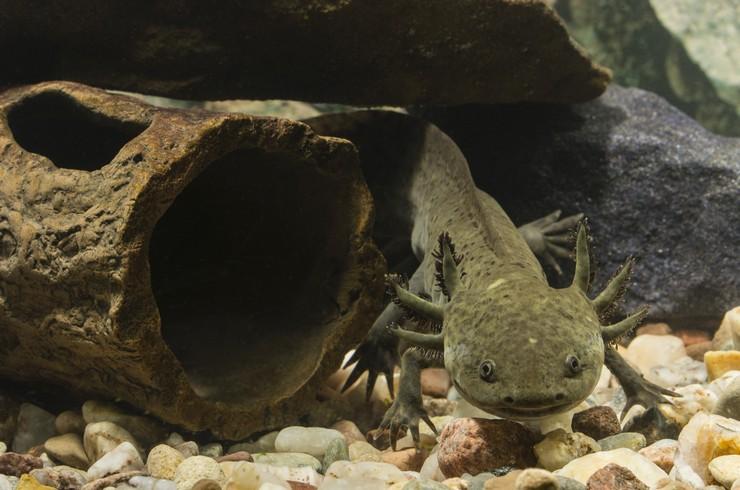 В аквариуме с аксолотлем необходимы укрытия