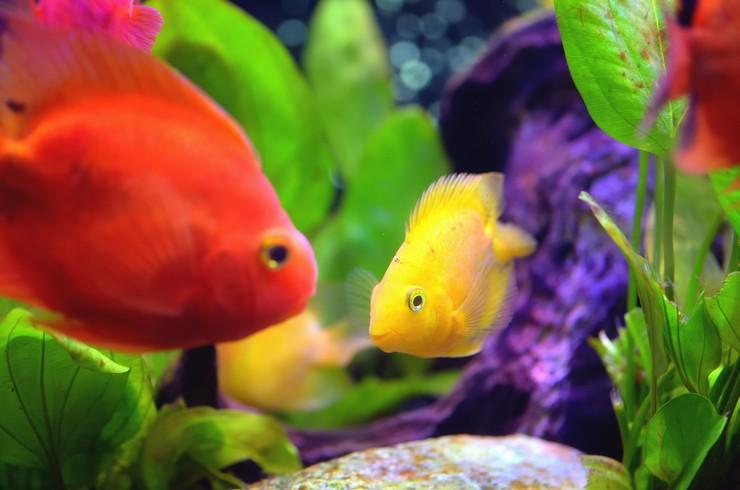 Варианты окрасов рыб попугаев