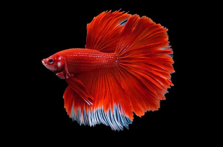Петушок отлично подходит для содержания в аквариуме Tetra Duo Waterfall Globe