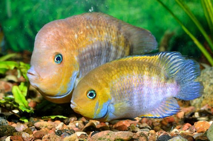 Самец и самка цихлазомы Сэджика