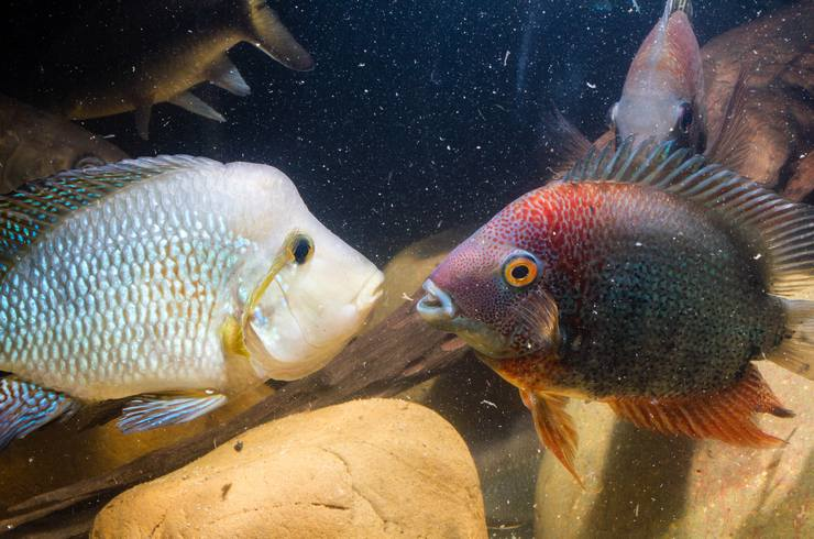 В общем аквариуме нередки стычки самцов