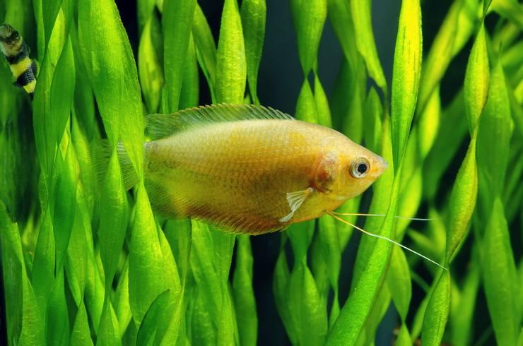 Валлиснерия образует плотные заросли, в которых любят прятаться рыбки