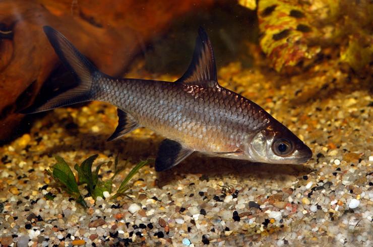 Акулий балу — черно-серебристая рыбка с высоким спинным плавником