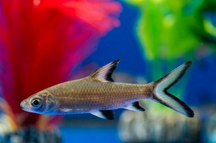 Акулий балу — достаточно крупная рыба, в природе длина ее тела может доходить до 35 см