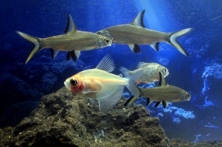 Балу хорошо уживается с другими схожими по размеру рыбами