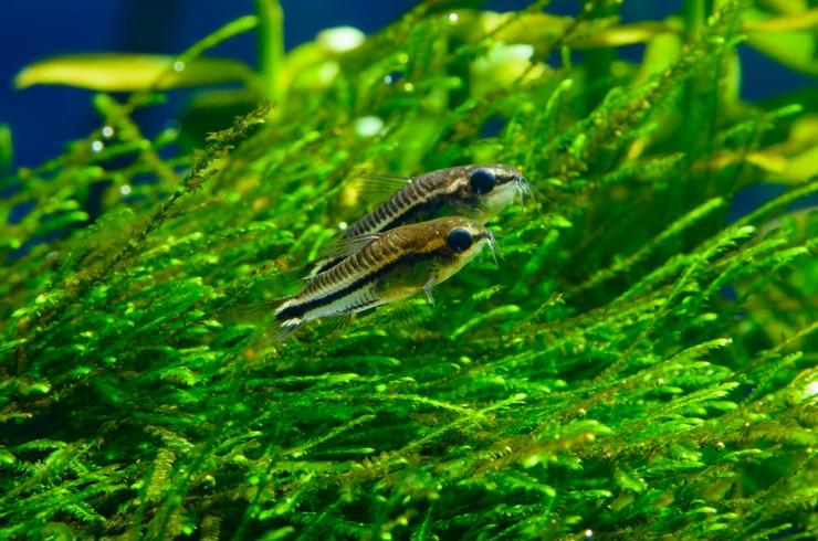 Длинные стебли с миниатюрными листочками хорошо смотрятся в любом аквариуме и служат укрытием для мелких рыбок