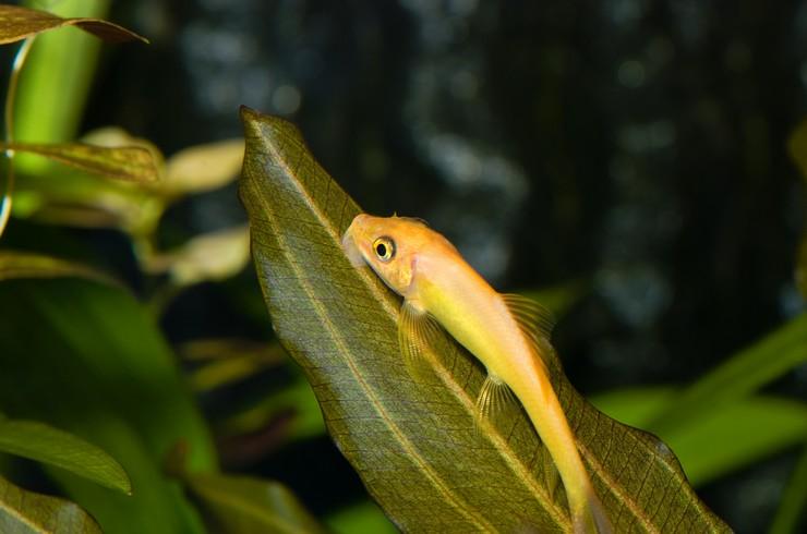 Гиринохейлус, или «китайский водорослеед»
