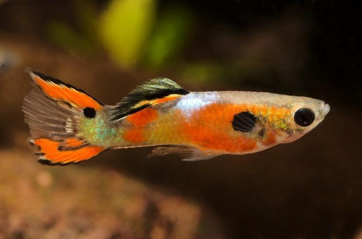 Гуппи Эндлера – эндемики венесуэльских озер