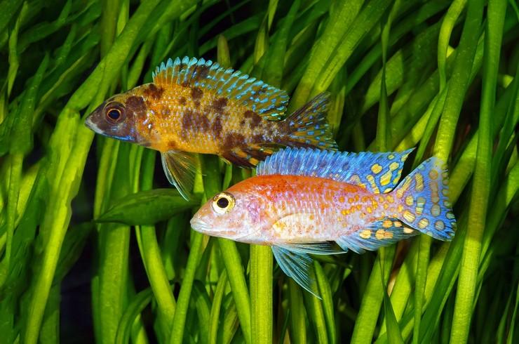 Характерная черта половозрелых самцов – пятна на анальном плавнике.