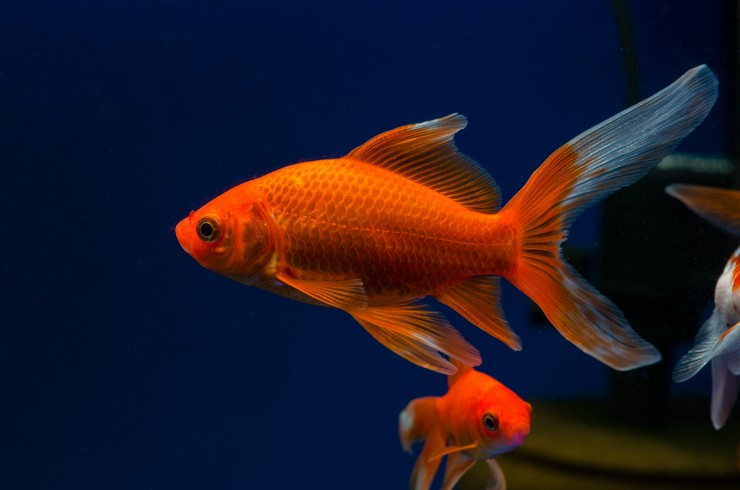 Хвост золотой рыбки комета