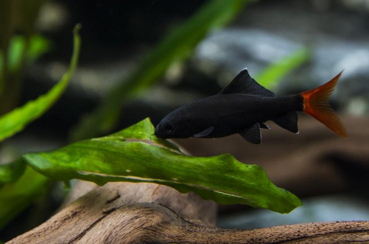 Лабео соскребают водоросли со стекол аквариума, декораций и живых растений
