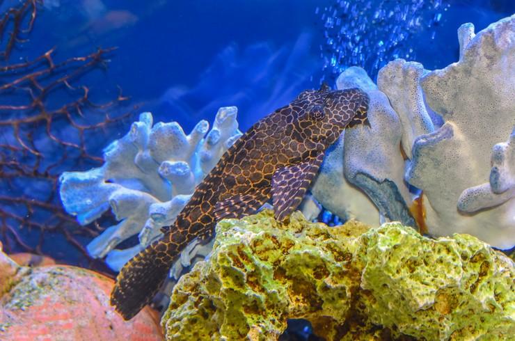 Птеригоплихты позволяют поддерживать чистоту в аквариуме