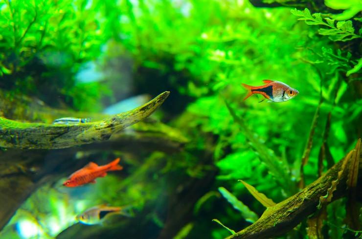 Расбора в общем аквариуме