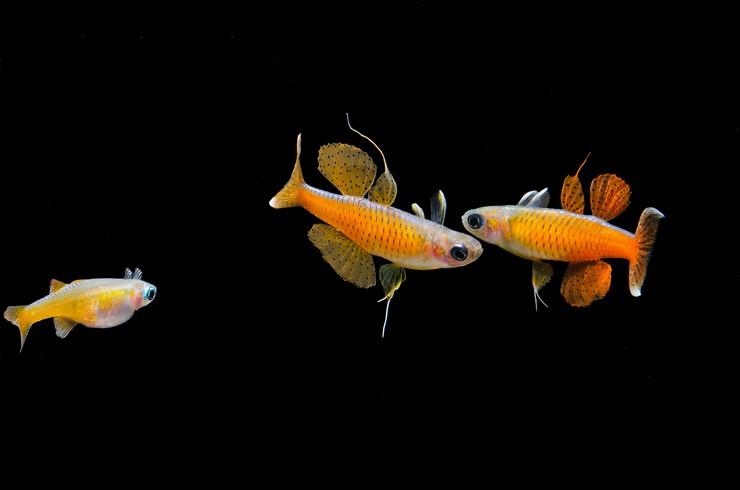 Самцы и самка псевдомугила паскай