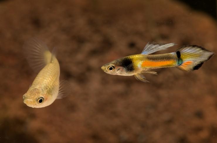 Самец и самка гуппи Эндлера