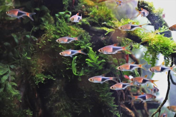 Стайка расбор в аквариуме