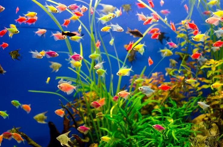 Тернеции глофиш в общем аквариуме с живыми растениями