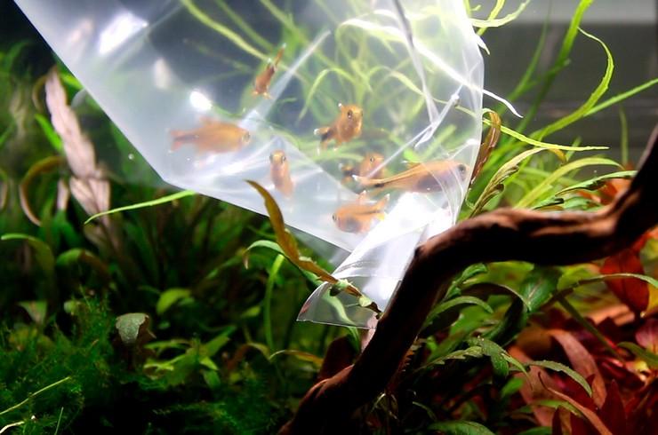 Тетра медная – популярная мирная стайная рыбка