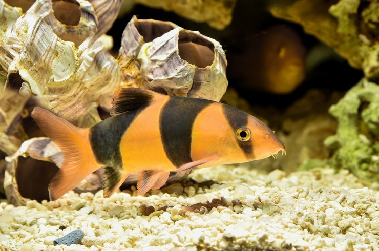 В аквариуме с боциями клоунами желательно наличие разнообразных укрытий
