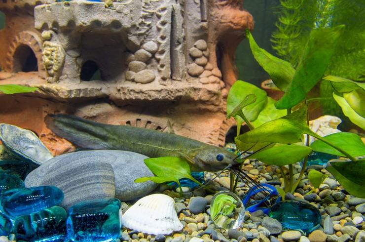 В аквариуме с мешкожаберным сомом должно быть много укрытий